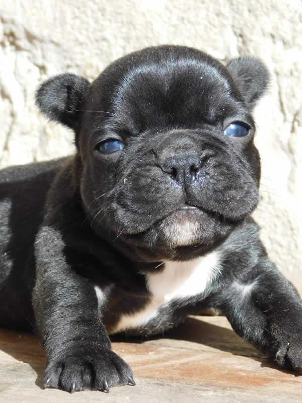 Bulldog Francés Negro (Vendido)