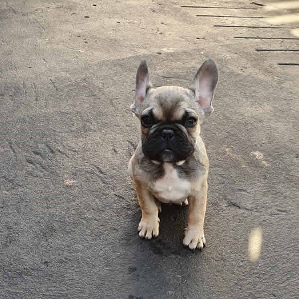 Bulldog Francés Sable (Vendido)